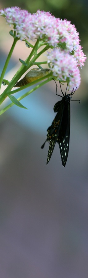 Swallowtail with Chrysalis