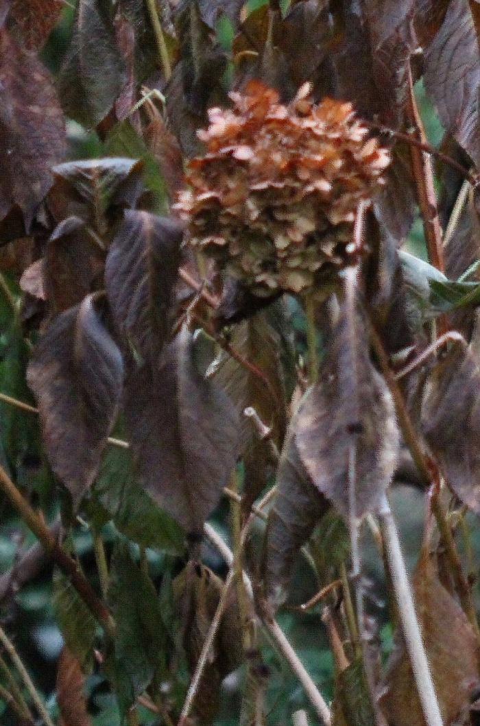 Pathetic looking frozen hydrangea.